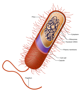 Prokaryote_cell.svg