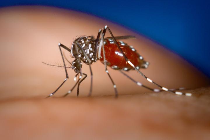 Aedes-albopictus